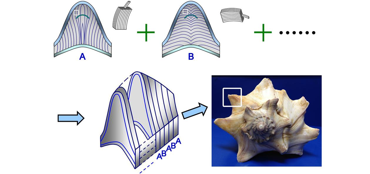 The Art of Curved Reinforcing in Biological Armors – Seashells